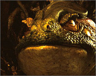 Pansfrog